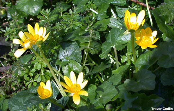 Hampshire cam uk photographs wild scenes lesser celandine is a common and familiar plant of roadside verges and woodland rides the bright yellow flowers close up every night to protect themselves mightylinksfo